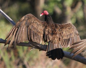 """""""Turkey vulture Bluff"""" by Mjobling - Own work. Licensed under CC BY 3.0 via Wikimedia Commons - http://commons.wikimedia.org/wiki/File:Turkey_vulture_Bluff.jpg#/media/File:Turkey_vulture_Bluff.jpg"""